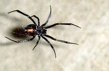Black_Widow_11-06.jpg