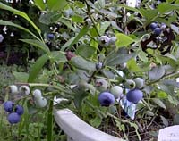 blueberry.jpg