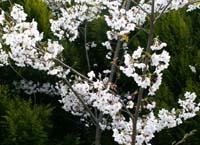 oniwasakura242.jpg