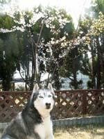 oniwasakura415.jpg