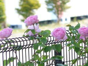 rose81.jpg