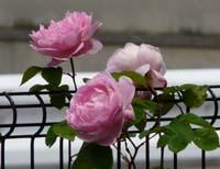 rose82.jpg