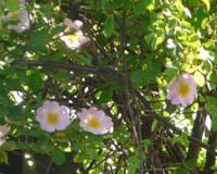 rose84.jpg