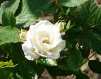 rose87.jpg