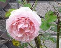 rose8pr.jpg