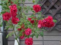 rose8psc.jpg