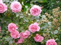 rose8rd.jpg