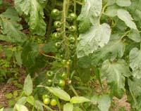 tomato7714.jpg