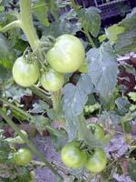 tomato8.5.jpg
