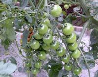tomatohusa.jpg
