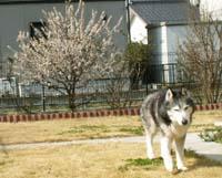 yusuraume7414.jpg