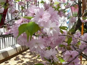 簪桜(かんざし桜)