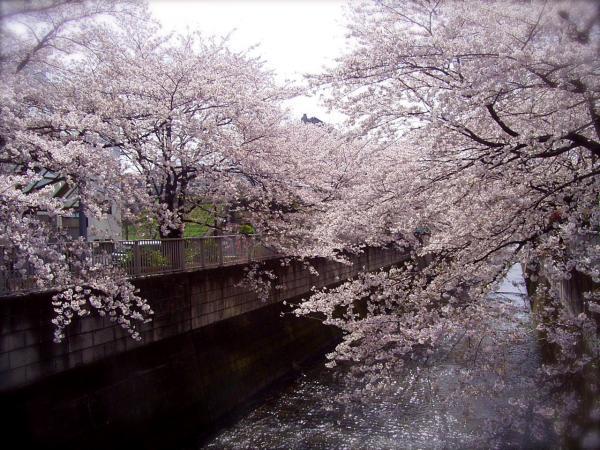 桜@神田川 3