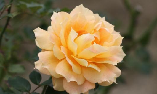 このバラはきっと性格がいいと思う