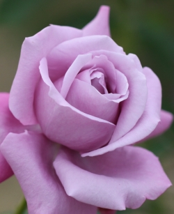紫のバラの君