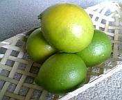 レモン収穫1