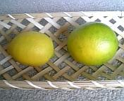 レモン収穫2