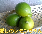 レモン収穫3