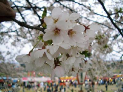 2007-4-15花見