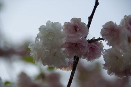 090506sakura1.jpg