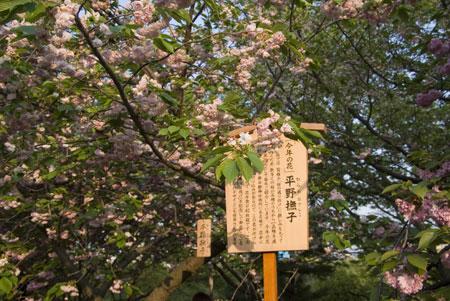 090506sakura4.jpg