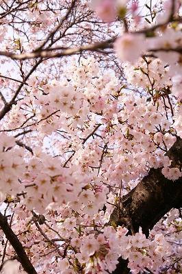 2009-4桜 (17)