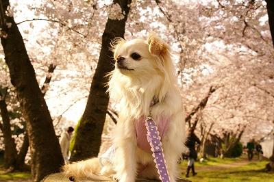 2009-4桜 (30)