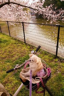 2009-4桜 (16)