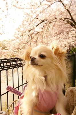 2009-4桜 (51)