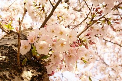 2009-4桜 (61)