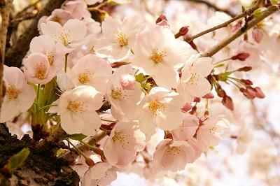 2009-4桜 (63)