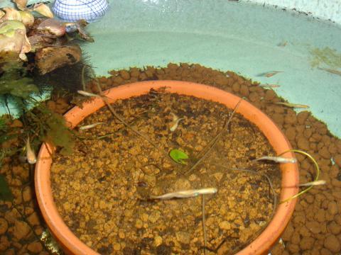 2月中旬の睡蓮鉢