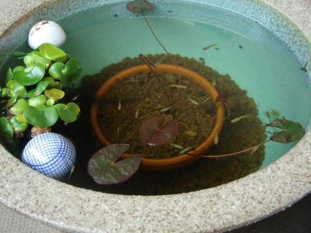 4月下旬のスイレン鉢