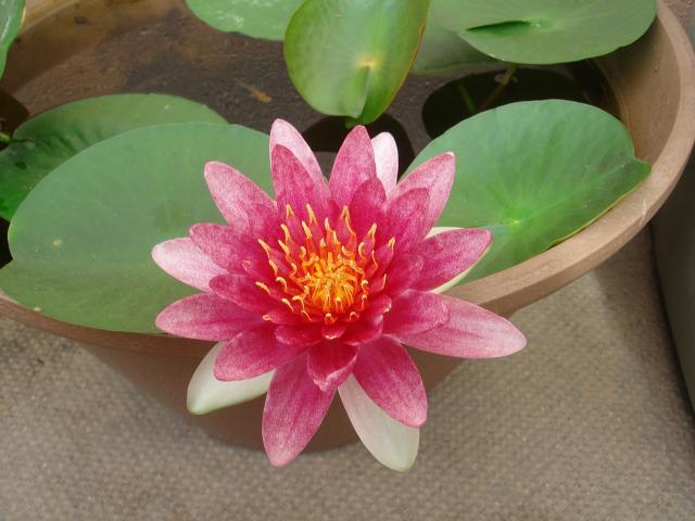今年二回目のスイレン開花