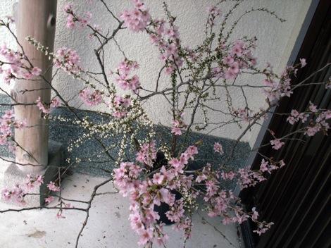 PICT0013sakura.jpg