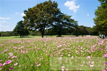 20110906昭和記念公園コスモス1
