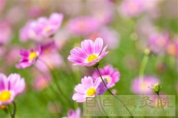 20110906昭和記念公園コスモス2
