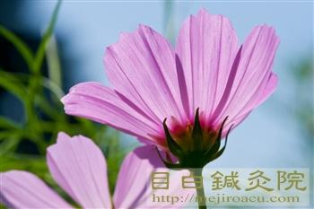 20110906昭和記念公園コスモス3
