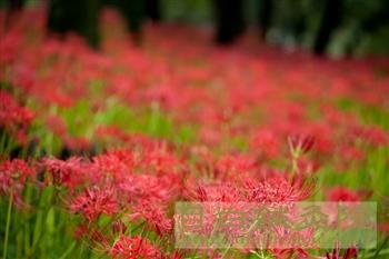 20110923巾着田公園曼珠沙華6