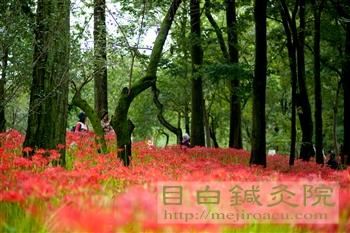 20110923巾着田公園曼珠沙華1
