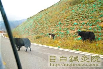 2011九寨溝ヤク