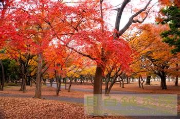 20111214代々木公園紅葉5