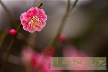 20120307東京の梅開花!新宿御苑1
