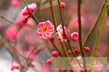 20120307新宿御苑の梅開花10