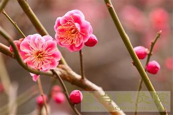 20120307東京の梅開花!新宿御苑2