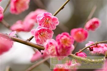 20120307東京の梅開花!新宿御苑3