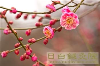 20120307東京の梅開花!新宿御苑4