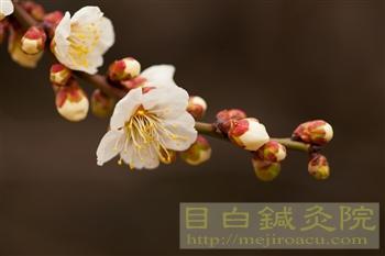 20120307東京の梅開花!新宿御苑5