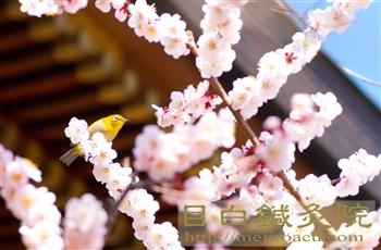20120320湯島天神の梅とメジロ4