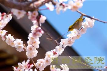 20120320湯島天神の梅とメジロ3